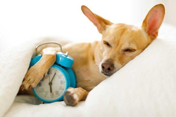 Früh aufstehen: Schlafender Hund mit Wecker