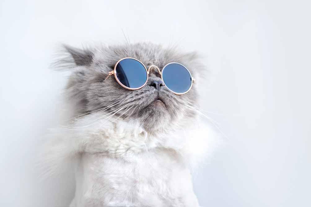 Lustige Perserkatze mit Sonnenbrille