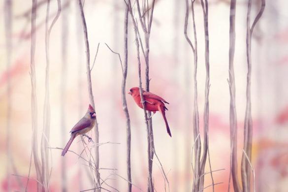 Zwei Rotkardinal Vögel sitzen auf dünnen Zweigen in einem