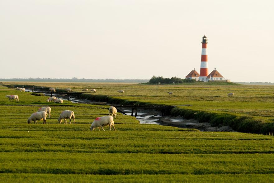 Grasende weiße Schafe stehen auf einer weitläufigen grünen Graslandschaft mit Leuchtturm und zwei Häusern im Hintergrund