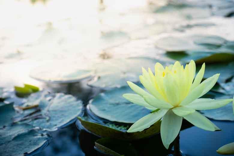 Eine gelbe Seerose in einem Naturteich.